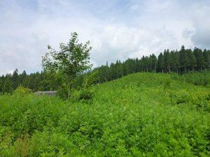 作業前の絆の森。一面下草に覆われています