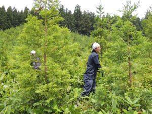 私たちの杉苗は2メートルを超え、もう下草に負けないくらい大きくなりました
